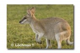 Agile Wallaby ABD-021© Lochman Transparencies