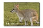Agile Wallaby ABD-021© Lochman Transparencies