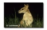 Agile Wallaby HW-715 © Wade Hughes Lochman LT