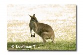 Agile Wallaby LLE-924© Lochman Transparencies