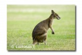 Agile Wallaby LLE-926 © Lochman Transparencies