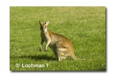 Agile Wallaby LLE-929 © Lochman Transparencies