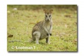 Agile Wallaby LLE-930 © Lochman Transparencies