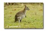 Agile Wallaby LLE-931 © Lochman Transparencies