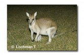 Agile Wallaby LLH-021 © Lochman Transparencies