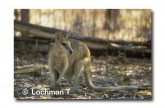 Agile Wallaby XA-494 © Lochman Transparencies