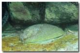 abalone-haliotis-laevigata-cb-660-copy