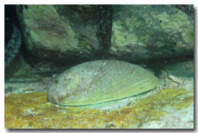 Shell Fishery – Abalone