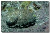 abalone-haliotis-roei-cb-065-copy