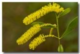 acacia-stigmatophylla-mt-hart-abd-722-web-copy