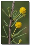 acacia-tetragonophylla-dead-finish-ad-641web-copy