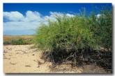acacia-tetragonophylla-kurara-ad-712-web-copy