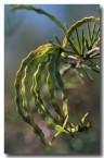 acacia-tetragonophylla-kurara-fx-849-web-copy