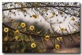 acacia-tetragonophylla-kurara-pm-282-web-copy