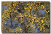 acacia-tetragonophylla-kurara-pm-284-web-copy