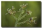 acacia-tetraptera-wattle-la-201web-copy
