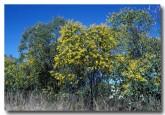 acacia-tumida-pindan-kk-550-web-copy