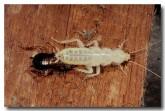 american-cockroach-rr-623-copy
