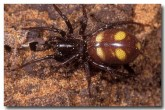 ant-eating-knobble-spider-ld-576-copy