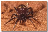 ant-eating-knobble-spider-ld-580-copy