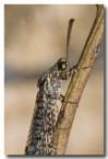 ant-lion-lacewing-aad-391web-copy