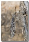 ant-lion-lacewing-llf-413-web-copy
