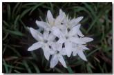 anthericaceae-borya-laciniata-dwarf-pincushions-sa-021-copy