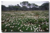 anthericaceae-borya-sphaerocephala-pincushions-xl-855-copy