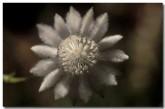 apiaceae-actinotus-leucocephalus-flannel-flower-xj-340-copy