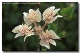 apiaceae-xanthosia-rotundifolia-as-343-southern-cross-copy