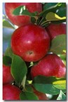 apple-ew-055-copy