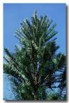 araucariaceae-wollemmia-nobilis-wolllemi-pine-xn-662-copy