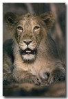 asiatic-lion-qe-090-web-copy