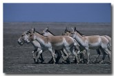 asiatic-wild-ass-or-onager-qc-760-web-copy