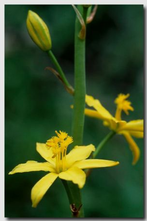 Yellow Bulbine Lily