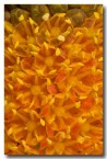 asphodelaceae-bulbinella-latifolia-var-doleritica-nieuwoudtville-abd-940-web-copy
