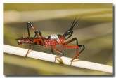 assassin-bug-bladensburg-llg-233-web-copy