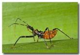 assassin-bug-cape-hillsborough-qld-lle-362-copy