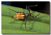 assassin-bug-cape-hillsborough-qld-lle-364-copy