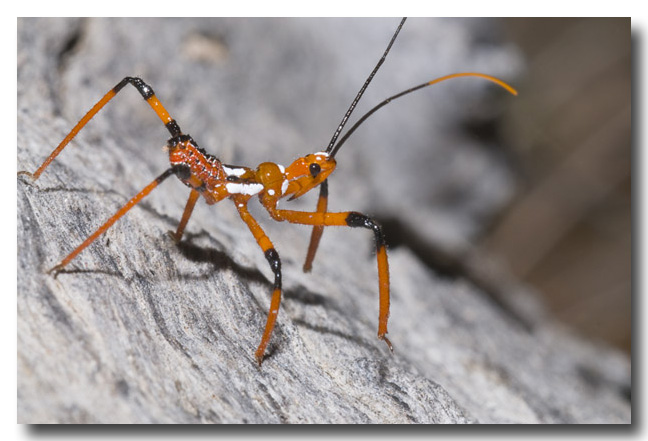 Assassin Bug – nymph