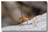 assassin-bug-nymph-bladensburg-llg-235-web-copy