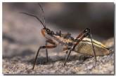 assassin-bug-ya-554-copy