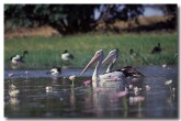 australian-pelican-mm-700-copy