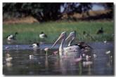 australian-pelican-mm-700-copy
