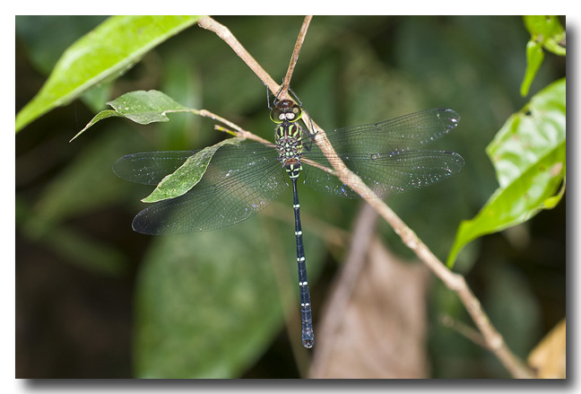 Green-striped Darner – Dragonfly