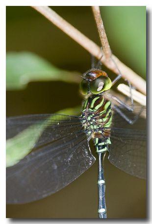 (LLH-213) Green-striped Darner – Dragonfly