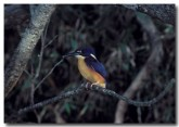 azure-kingfisher-cad-032-copy