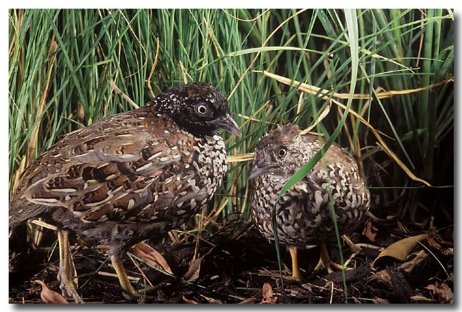 Black-breasted Button Quail