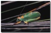 balloon-winged-katydid-yy-884-copy(1)