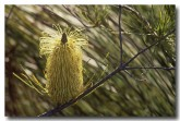 banksia-tricuspis-zf-395-copy